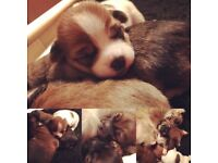 Beautiful puppies for sale small cross breed.