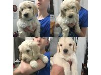 F2 cream Labradoodle Pups ready for their forever homes. Just 2 boys and 1 girl left