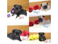 KC PUG PUPPIES. 1 boy 3 girls. READY TO LEAVE NOW. REDUCED TO £750!! ♥️