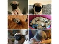 Gorgeous chunky pug puppys