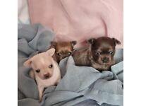 Beautiful tiny pedigree chihuahua