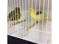 Border Canarys