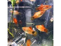Tropical fish Platy super healthy and colourful