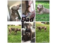 XL American bully puppies