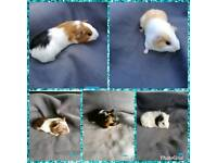 Baby guinea pigs male and female