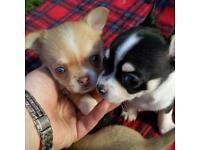 KC Chihuahua puppies
