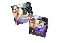 Plummer terrier x jack Russell puppies