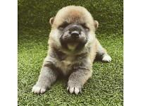 Japanese Shiba Inu puppies for sale