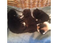 four 8 week old litter trained kittens fully weaned on solids very playful lovely kittens