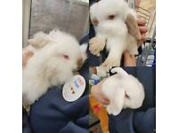 3 albino bunnies for sale.