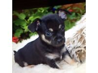 Chihuahua Puppy. Black and Tan smooth coat Girl