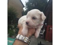 Gorgeous female Malshi-chon puppy for sale. 4 weeks old will be ready for a loving home 4-6weeks.