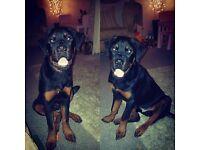 7 month old rottweiler
