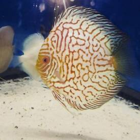 discus fish for sale