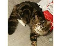 Lost male tabby cat