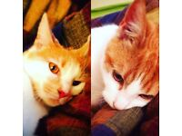 Beautiful ginger/white cats