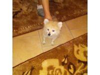 Beautiful 3 month old pomeranian puppie