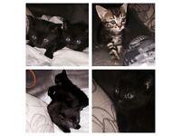 4 female kittens