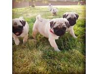 Pug pup puppy puppies kc registered vaccinated
