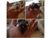 Baby male rats for sale