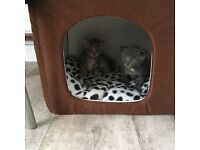 3 Beautiful kittens for sale available mid August! Fabulous colourings and nature!