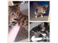 3 kittens for sale £20 each. 14 weeks old, been flead and wormed.