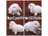Gorgeous Blue Eyed Mini Lop Boys