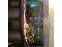 4 ft tank full set up with loads of chiclids and giant placos