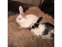 2 Beautiful Bunnies For Sale,