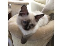 Full pedigree ragdoll female kitten
