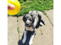 Blue Merle Border collie male pup for sale 19 weeks old