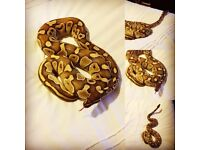 Royal Python (Lesser) Male & Full Setup