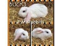Dwatf lop rabbit