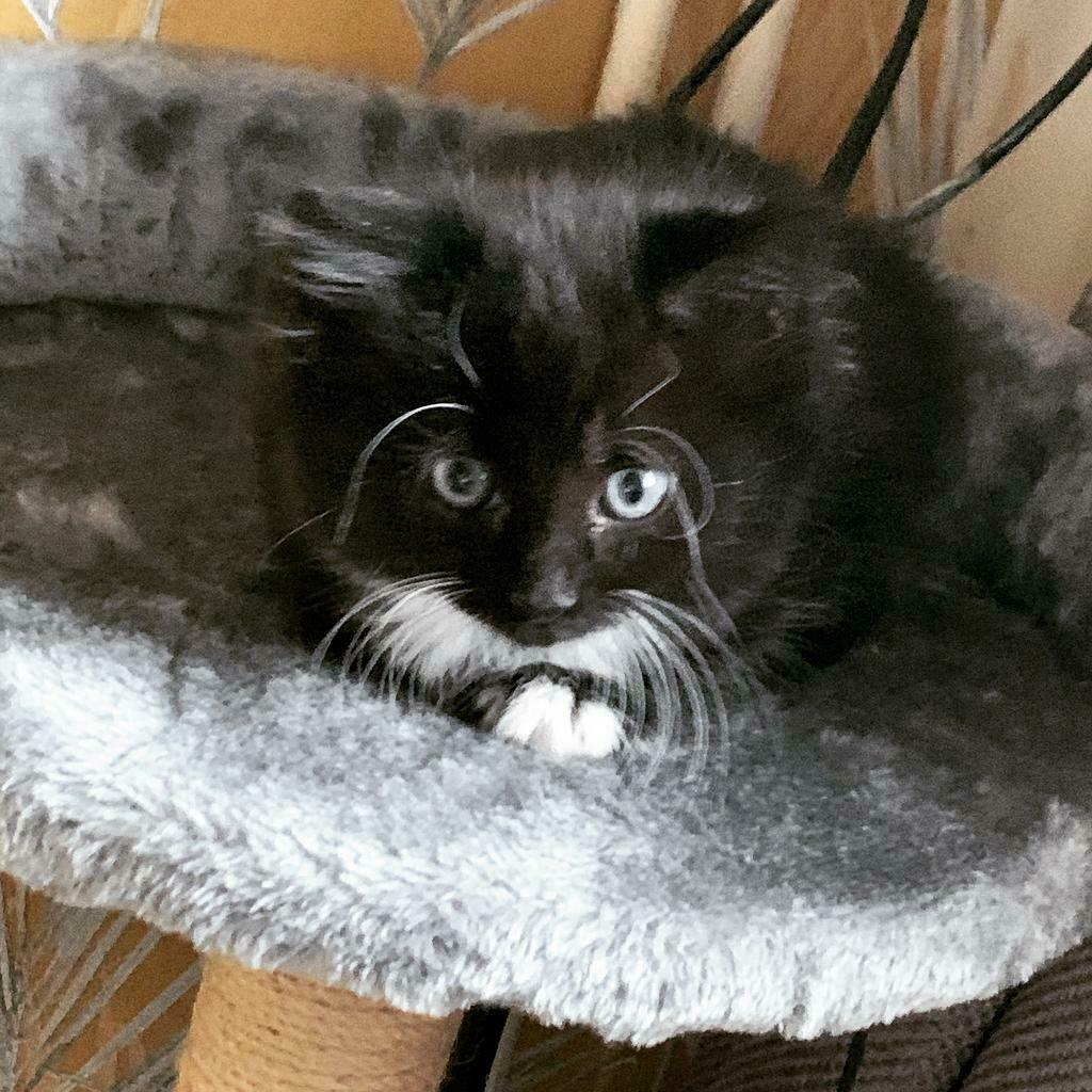 Fluffy Black And White Kitten Sold In Oldham Manchester Gumtree