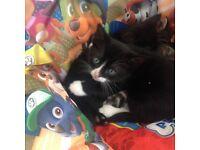 Kittens 8 weeks old both boys tabby one gone