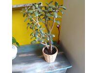 Money tree plant pot