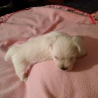 CANADIAN KENNEL CLUB.WestHighland White Terrier pups
