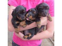 Miniature Dachshund Puppies (long hair)