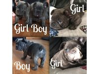 KC BLUE FRENCH BULLDOG PUPPIES