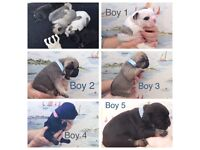 ***French Bulldog pups (Ready 13th October) KC Reg, South Wales***