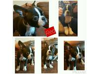 2 Boston Terrier pups available (girls)