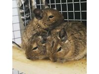 3 Male Degus for Sale (Cage & Accessories included)