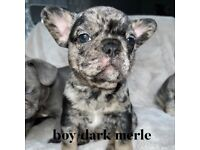 French bull dog puppies (Merle)