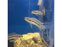 Tanganyika & Victoria Cichlids and Bristlenose not Malawi's, see advert. Fish for sale