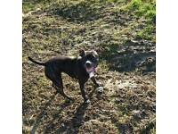 Forever home needed for a much loved staffy