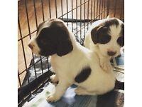 Springer spaniel puppy for sale