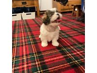 Beautiful Shih Tzu puppies for sale ready now……