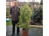 Evergreen Lemonwood plant homegrown by New Zealander
