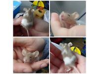 Four male baby mice