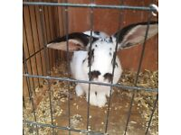 2 girl rabbits with or without hutch